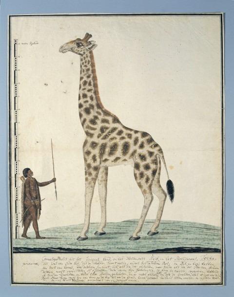 Geschiedenisfeest10 jarig Historizon. Robert Jacob Gordon, Een giraffe met een Khoi, 1779