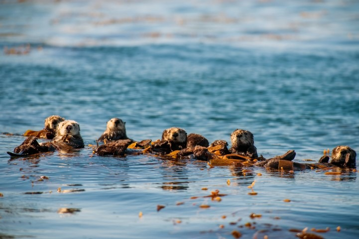 BBC Oceans our Blue Planet, Picture shows: Sea otters, Monterey Bay, California, USA. Sea otters must eat around 30% of their body weight every day but, when not hunting, they rest by floating on their backs, frequently wrapping themselves in fronds of kelp for better stability.